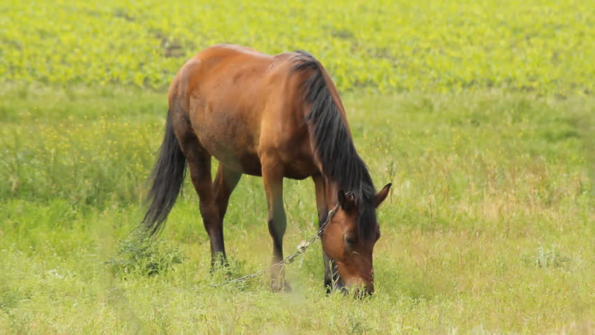 Summer Horse Grazing horses and one sorrel grazing on the meadow - HD stock footage clip