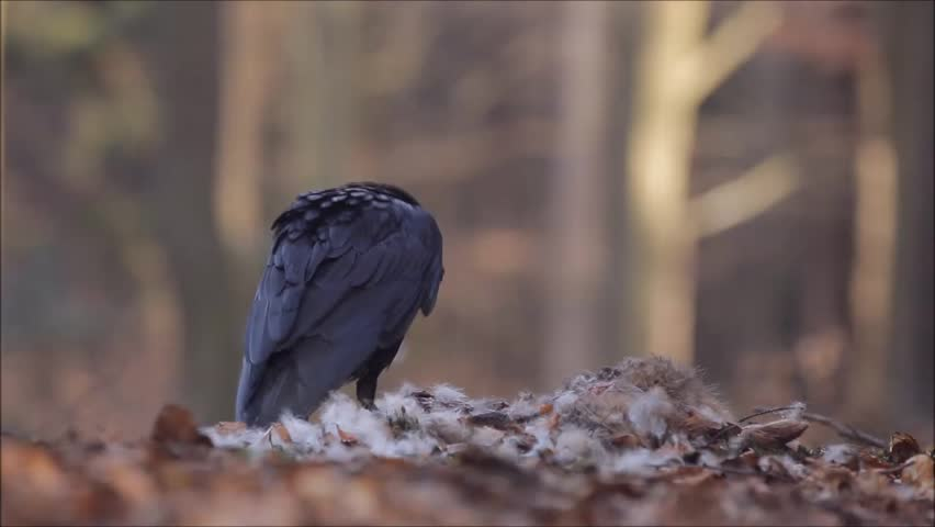 Raven in the forest with kill. Raven, black bird with dead hare on road, bloody heart in beak, nature habitat, dark green forest in the background. Wildlife scene from nature. Raven feeding carcass.