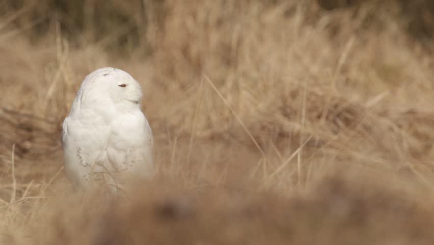 Bird snowy owl with yellow eyes sitting in grass, scene with clear foreground and background, in the nature habitat, Canada. Rare white bird in the grass.