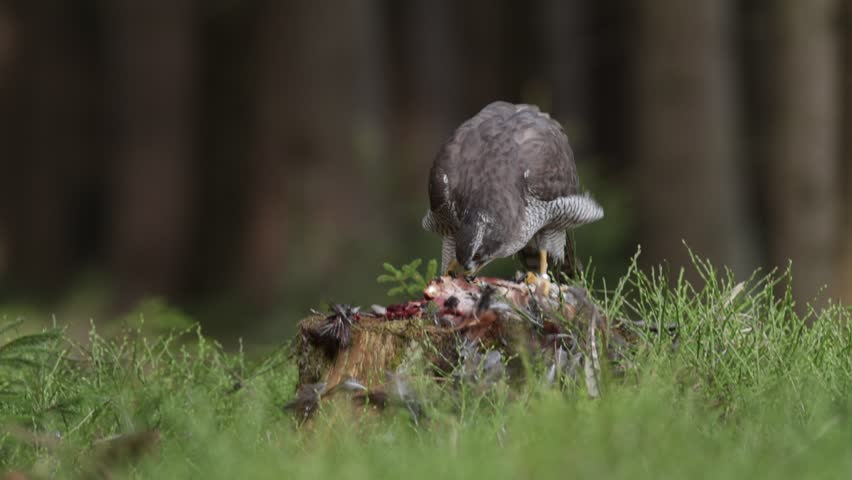 Wildlife feeding scene from forest with birds of prey. Goshawk kill Common Pheasant on the grass in green forest, bird of prey in the nature habitat, Norway. Goshawk in the forest with kill bird.