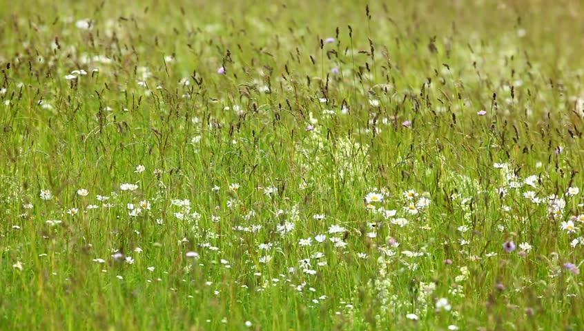 Color wildflower in garden. Daisy flower meadow field against blue sky with wind. Flower field in the summer wind. Thistle in the field. Green grass in the wind. Thistle in the field in summer