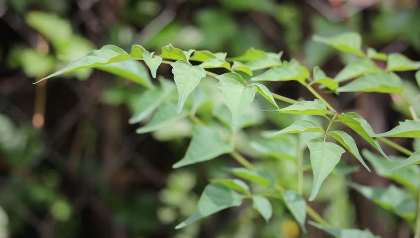 Green Leaf of Indian cork tree (Millingtonia hortensis Linn.f) flowers.