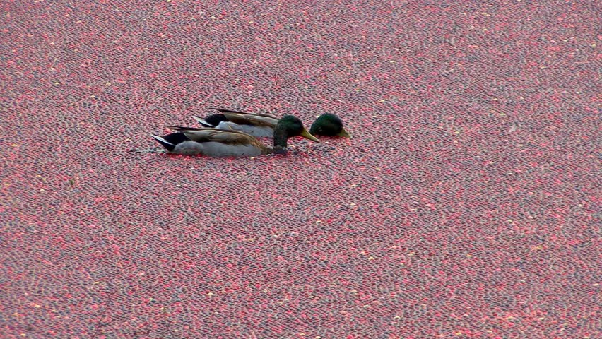 Ducks swimming in the floating cranberry blanket on harvest day bobbing for food under the water  - HD stock video clip