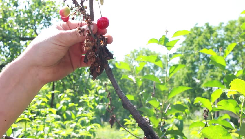 Cherry fruit tree, cut with scissors disease branch in the garden, close up - HD stock video clip