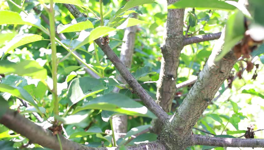 Cherry fruit tree, cut with scissors disease branch in the garden, close up - HD stock footage clip