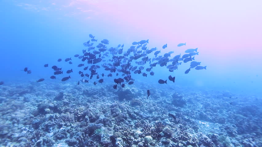 School of midnight snapper and tropical fish from the coral reefs in Layang Layang, Malaysia.