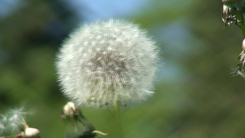 Dandelion (Sowthistle) one  - HD stock video clip