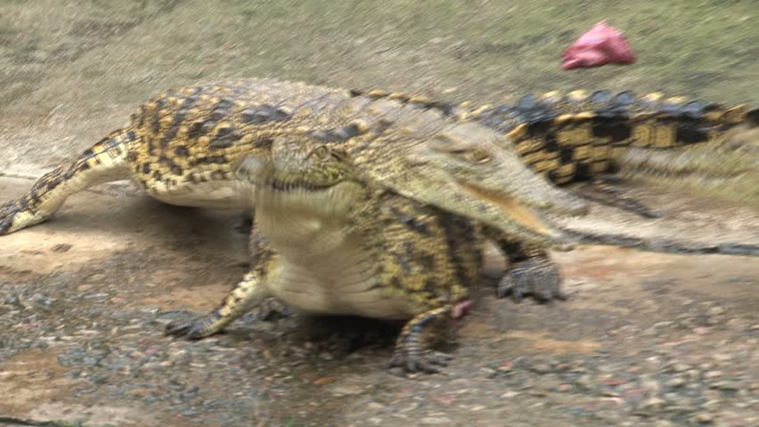 Caimans fight over carcasses in captivity - HD stock footage clip
