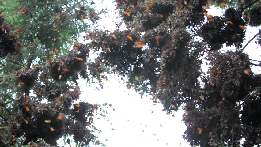 Branch full of monarch butterflies in the sanctuary of Michoacan,  Mexico [best for web use]