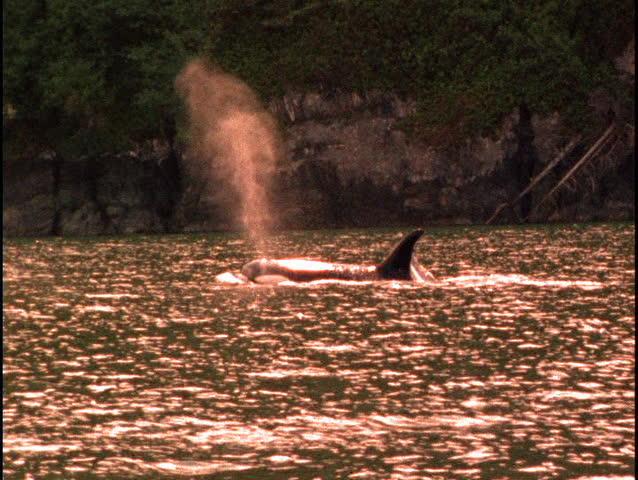 Killer Whale - SD stock video clip