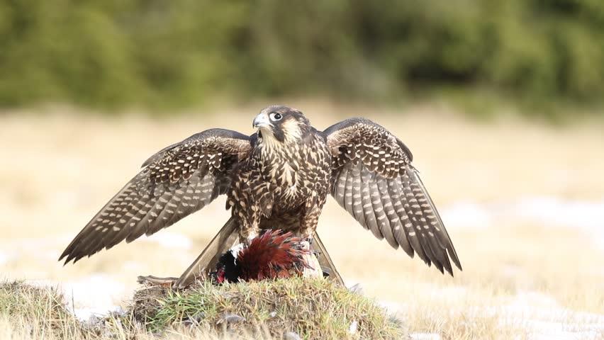 Peregrine falcon in the grass with kill pheasant. Bird of prey Peregrine Falcon in heather meadow. Peregrine falcon in nature habitat. Summer day with peregrine falcon. Peregrine falcon in the forest