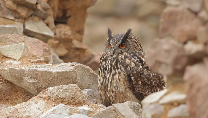 Eurasian Eagle Owl, Bubo Bubo, sitting on stone, close-up, wildlife photo in the forest, orange autumn colour, Norway. Owl in the rock habitat. Owl in the nature.