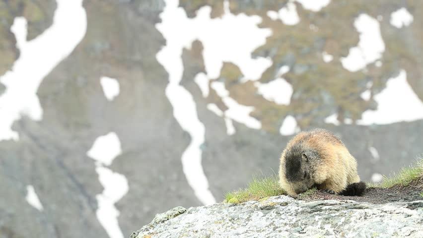Cute Marmot, Marmota marmota, sitting in he grass, in the nature habitat, Grossglockner, Alp, Austria. Animal in the mountain. Marmot sitting on the stone summit.