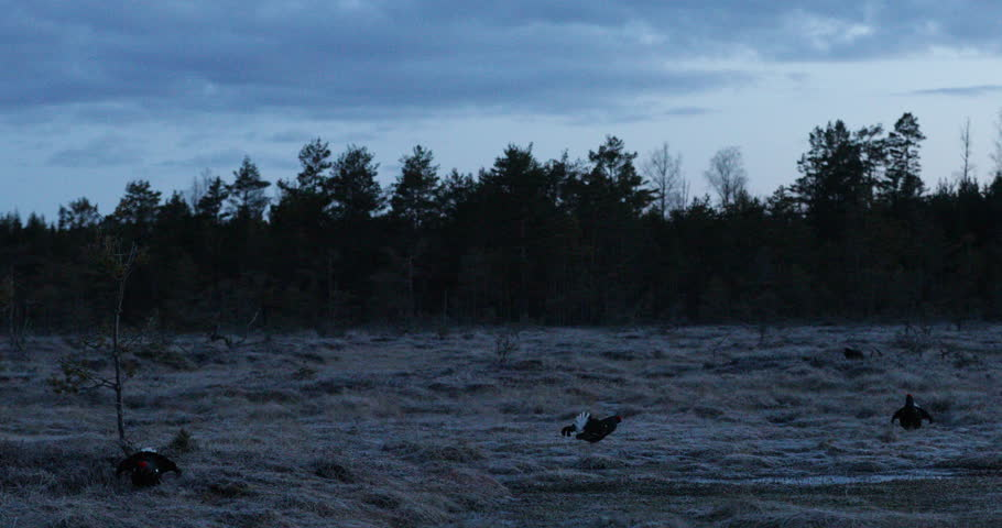 Dark morning with birds. Lekking nice bird Black Grouse, Tetrao tetrix, in marshland, animals in nature habitat, Sweden. End of night with Black Grouse. Action scene from nature. Wildlife in Sweden