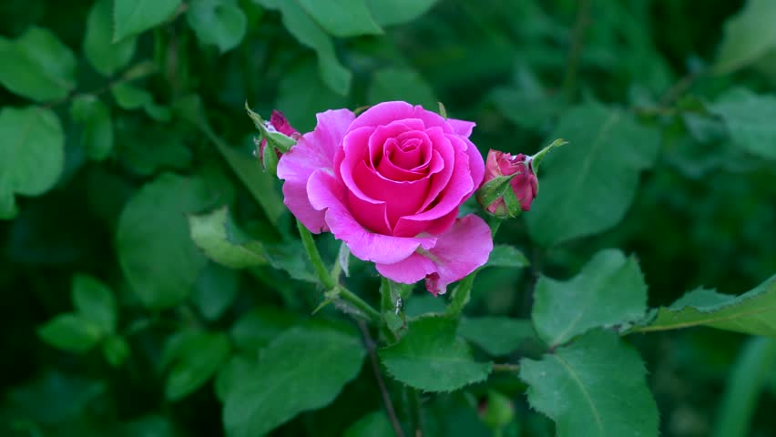Close-up of a pink rose. Against the background of defocused green leaves #17880028