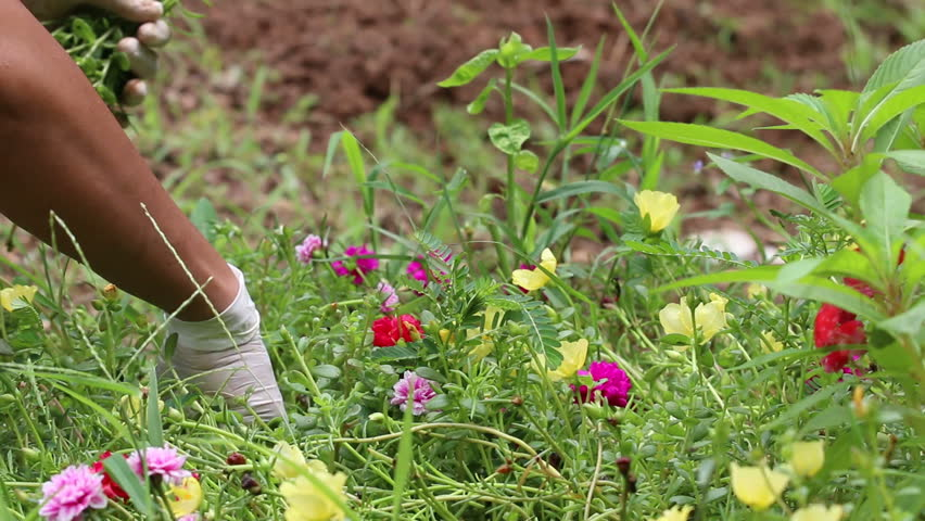 farmer hand planting young flower