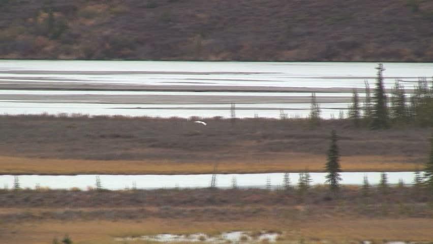 Long Shot Of Two Geese Landing On Water