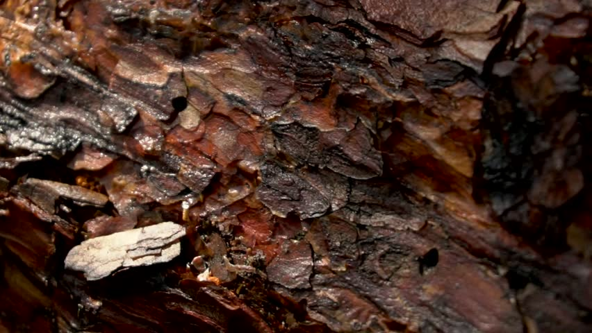 Pine tree bark close up in forest HD - HD stock footage clip