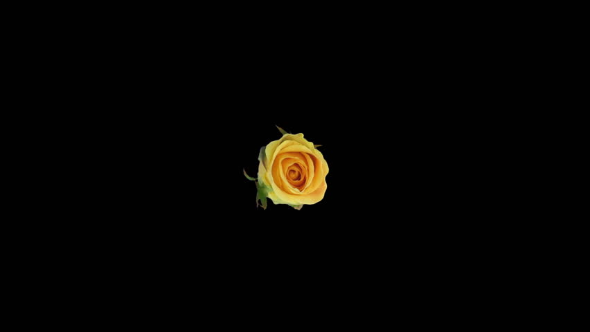 Seamless rotating time-lapse of opening and closing yellow Prairie rose 3r6 in RGB + ALPHA matte format isolated on black background, top view