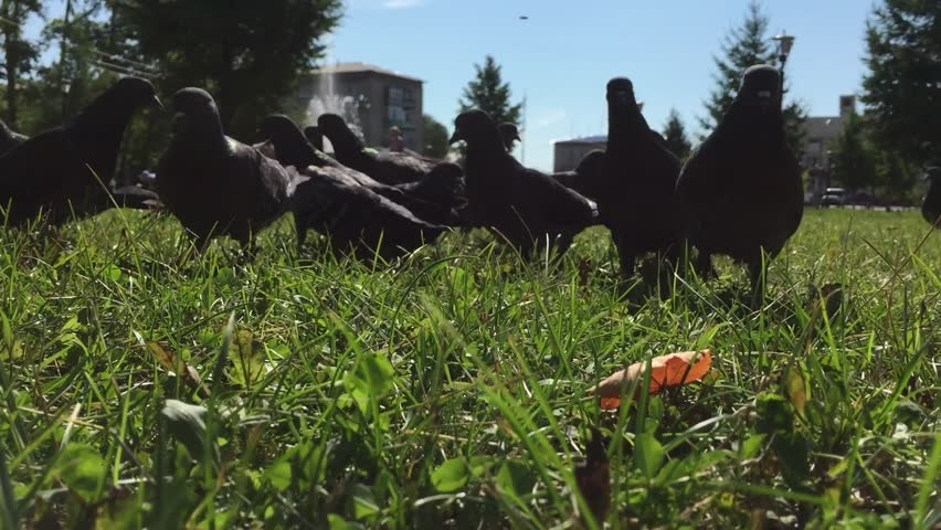 Pigeons in the city Park - HD stock footage clip