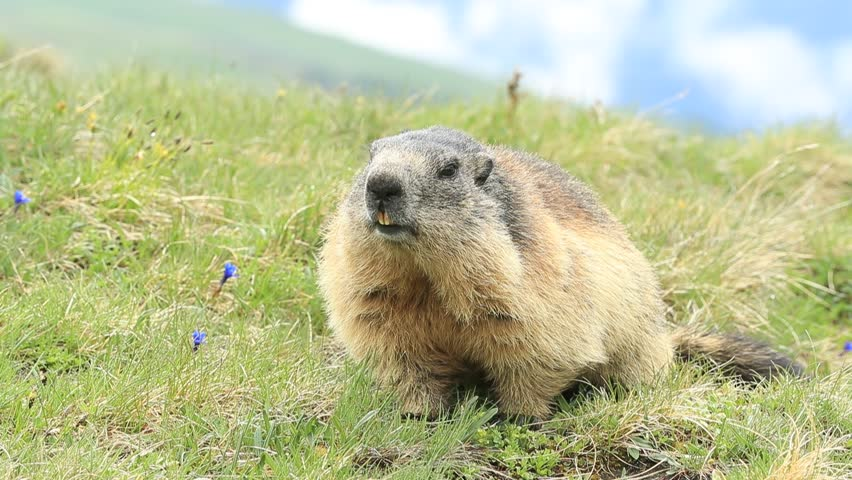 Marmot, Marmota marmota, beautiful animal in the grass with nature rock mountain habitat, Alp, Austria. Mormot with grass mountain and grey clouds. Widlife scene from Alp. Cute animal.