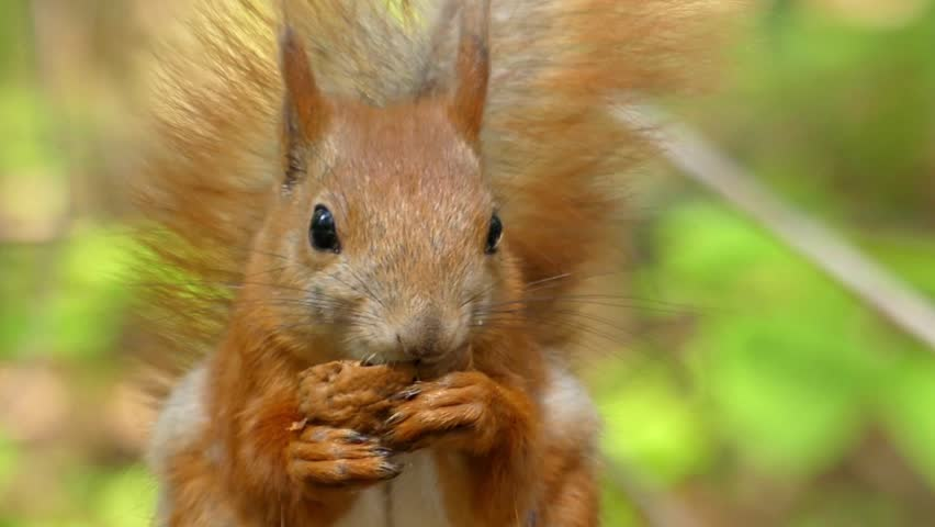 Beautiful Close up Shot in the Forest. Red Squirrel Eats a Nut. the Action in Real Time. #18058786