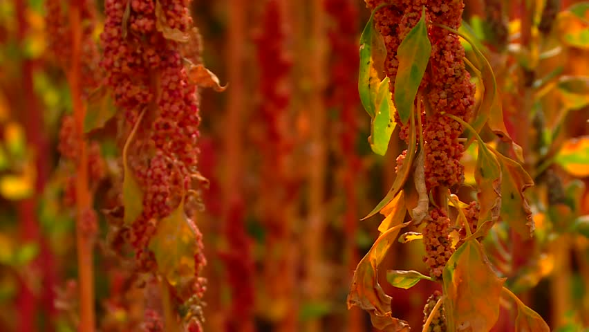 HD video clip of a Quinoa field with red plants on a sunny day.