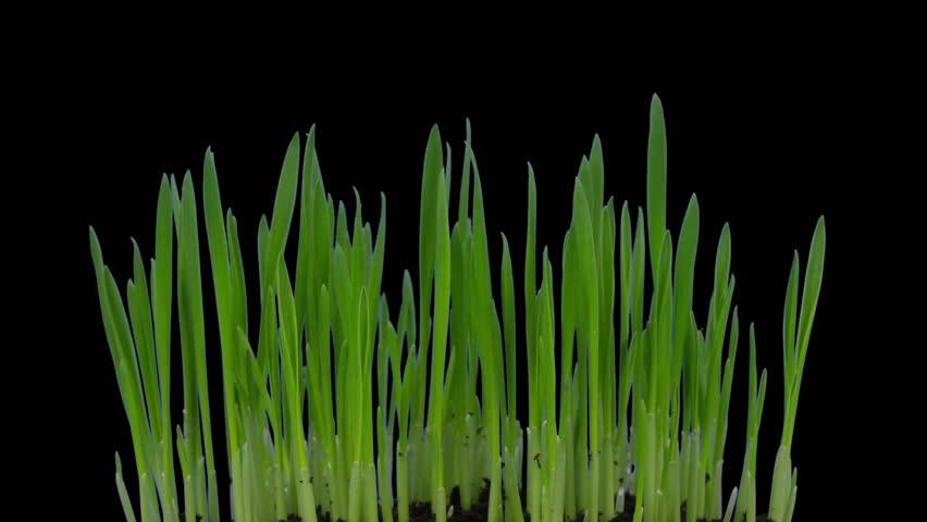how to grow barley grass youtube
