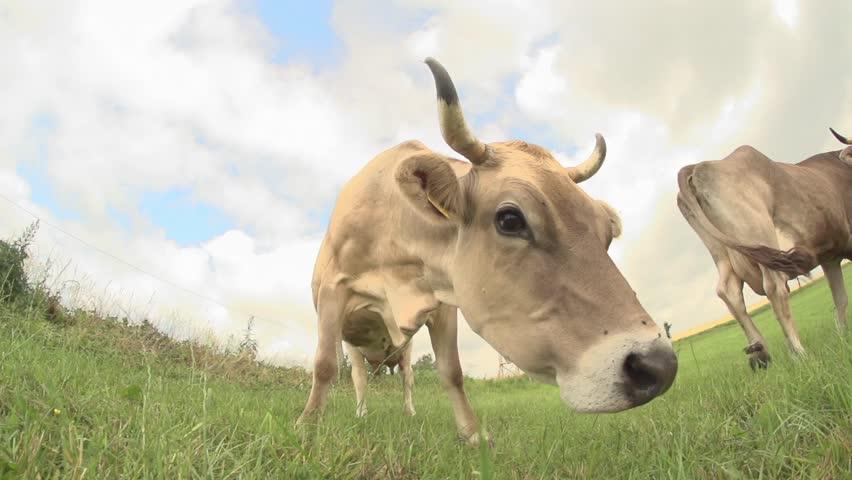 Cows on a meadow - germany | Shutterstock HD Video #18228715