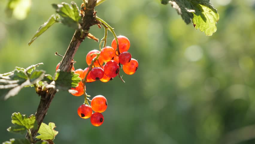 Healthy red Ribes rubrum berries on the plant close-up 4K 2160p 30fps UltraHD footage - The redcurrant deciduous shrub fruit natural shallow DOF 3840X2160 UHD video