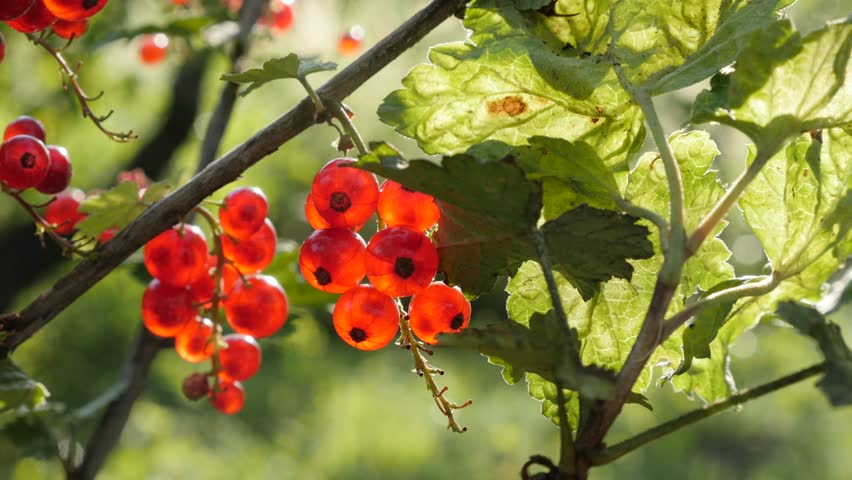 Red Ribes rubrum berries on the plant close-up 4K 2160p 30fps UltraHD footage - The redcurrant deciduous shrub fruit natural shallow DOF 3840X2160 UHD video