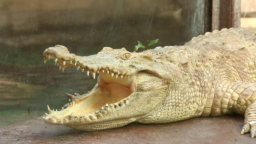 Crocodile in chiangmai Thailand | Shutterstock HD Video #18289231