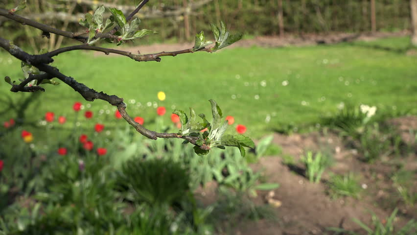 Closeup of unfolding apple fruit tree branch leaves and colorful tulip flower bed in spring season garden. Focus change shot.
