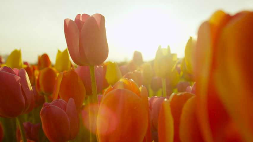 CLOSE UP, SLOW MOTION, DOF: Amazing rosy red, yellow and orange tulips blooming at beautiful local touristic park at early sunny evening. Fragile tulip flowers blossoming at late sunny morning #18401209