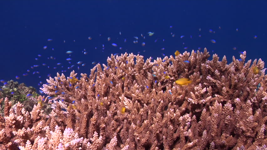 Header of Acropora cerealis