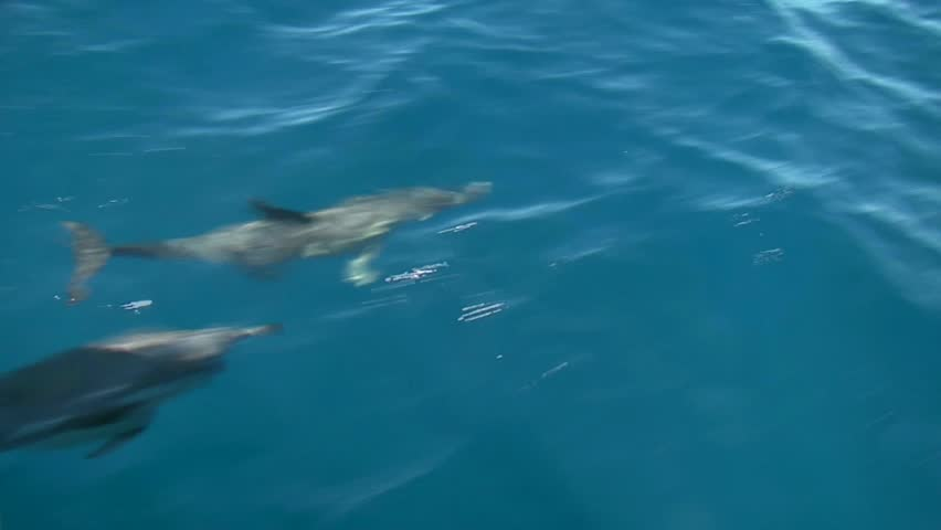 View from the boat of Dolphins swimming under the bow of the boat, In the Bay of Islands and seen all year round