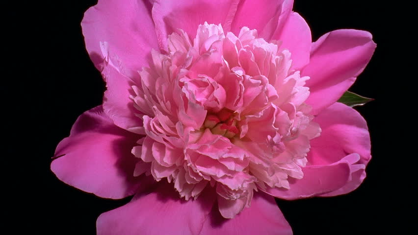 Pink peony Flower Blooming in Time-lapse - HD stock footage clip