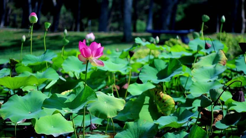 Lotus Flower 01 Pink