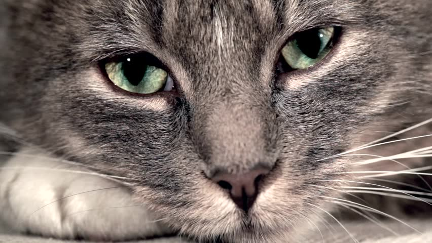 a cat is looking in the lens, it's pupils are widening and closing fast