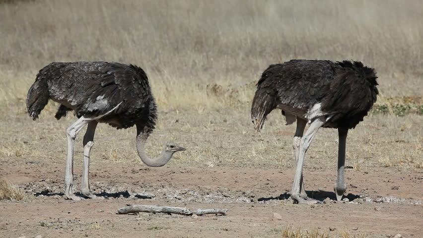 birds desert ostrich hd - photo #5