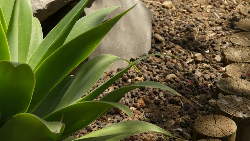 Header of Agave Attenuata