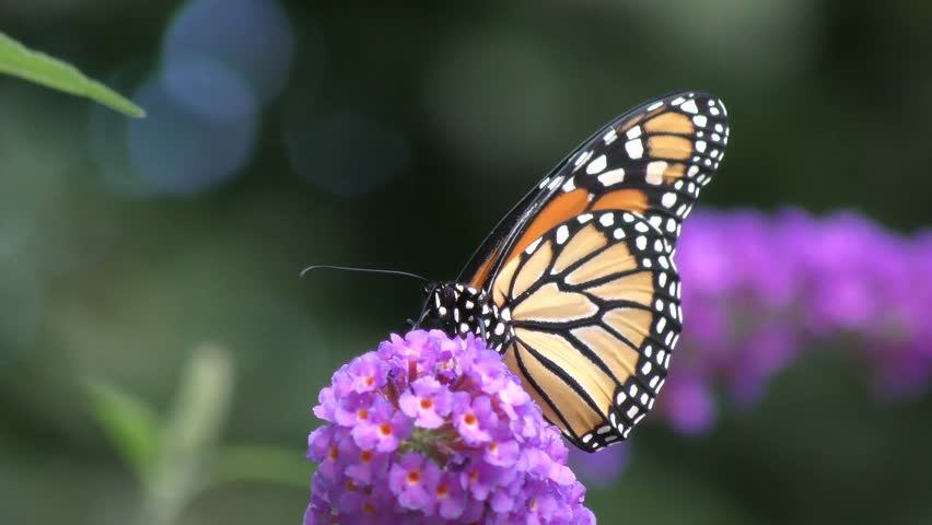 Monarch Butterfly Perched On A Purple Plant. Stock Footage