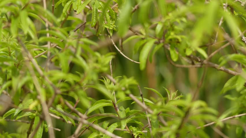 Header of Aloysia citrodora