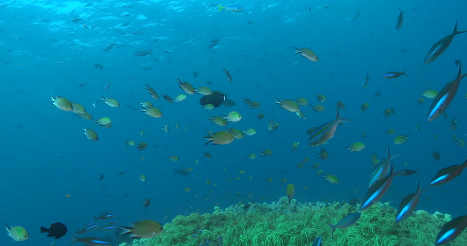 Header of Acanthurus fowleri
