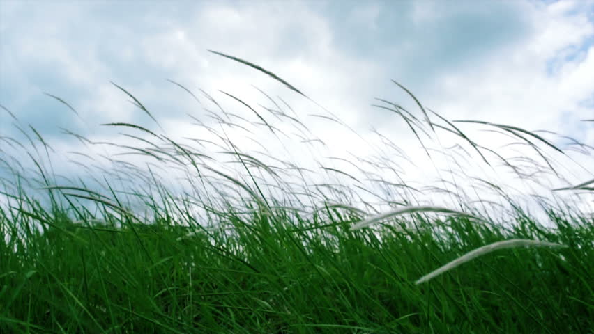 Side view of a Lalang pasture swaying with the wind - Imperata arundinacea - HD stock video clip