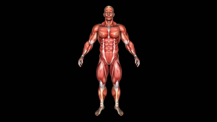 The Human Strong Body Muscle Animation. Loop. Alpha Matte - HD stock video clip