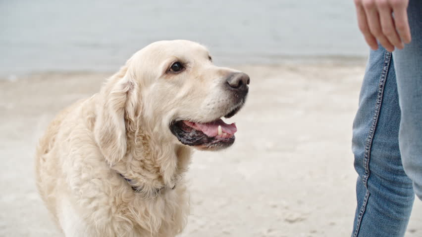 Tilt down of teenage boy teaching his golden retriever dog giving paw on chilly evening walk on beach | Shutterstock HD Video #19780720