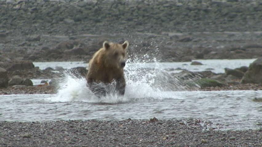 A Brown Bear desperately tries to catch salmon at Lake Clark, Alaska.