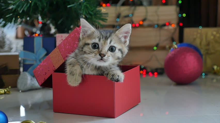 Cute tabby kitten playing in a gift box with Christmas decoration,slow motion