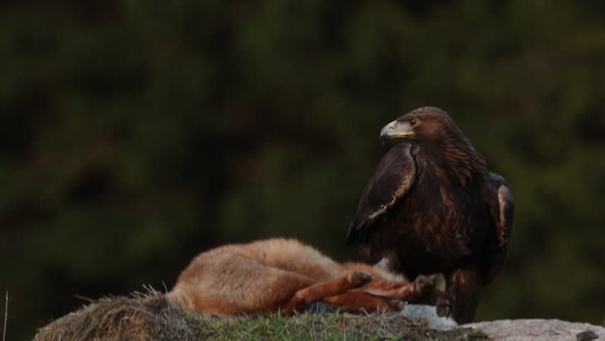 Golden Eagle, feeding on kill Red Fox in the forest, action feeding scene, attack in the forest, orange fur coat food, detail portrait of wild animals in the nature habitat, Norway. Dark forest.